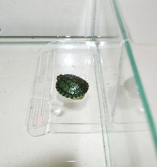 Плотик для черепах