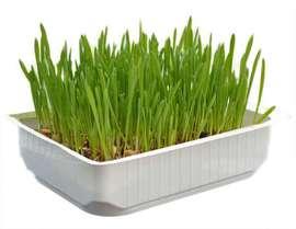 Трава для кошек в большом контейнере